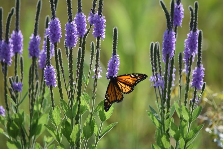 monarch butterfly on vervain flower