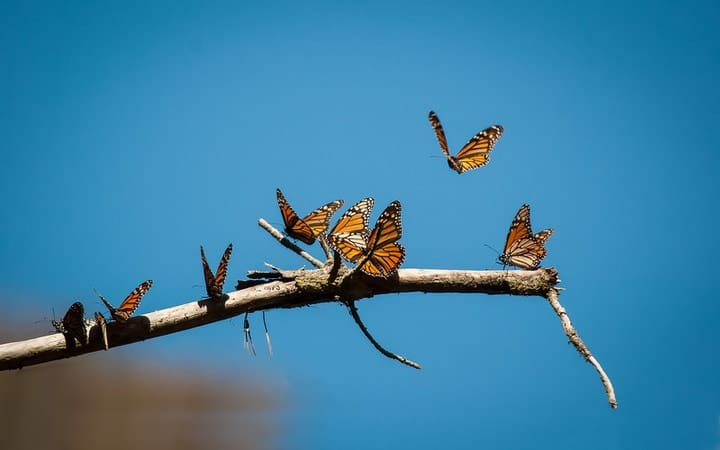 monarch butterfly resting on a branch