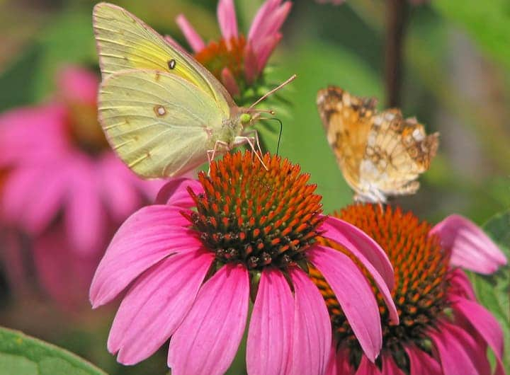 orange sulfur and pearl crescent butterflies on coneflowers