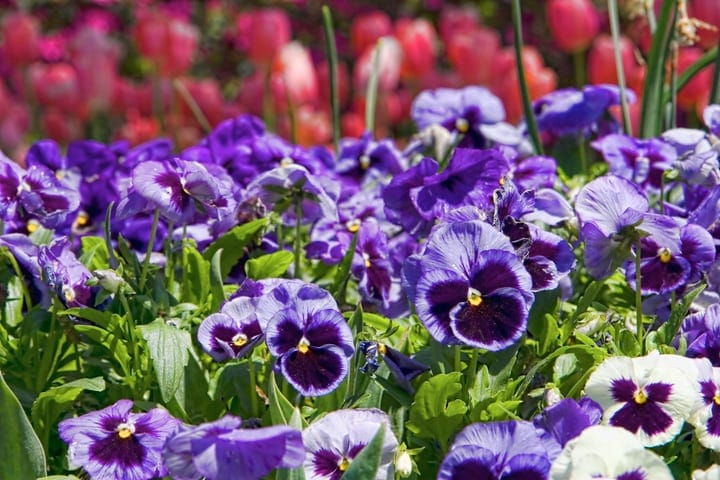 pansies butterfly flower garden