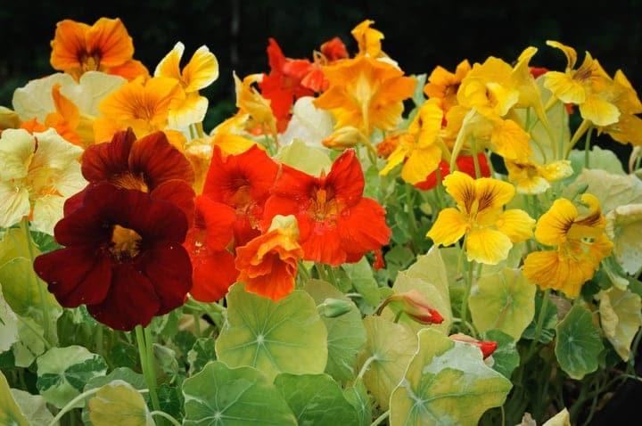 pest resistant nasturtium flowers
