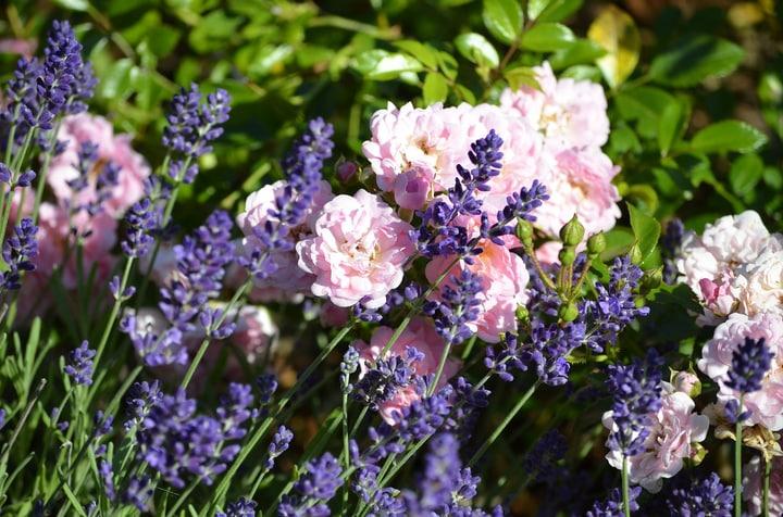 rose lavender garden