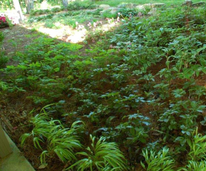 shade tolerant bushes
