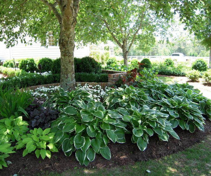 shade tolerant evergreen trees