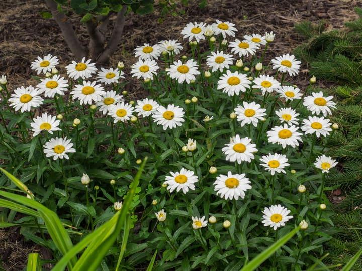 shasta daisy leucanthemum superbum