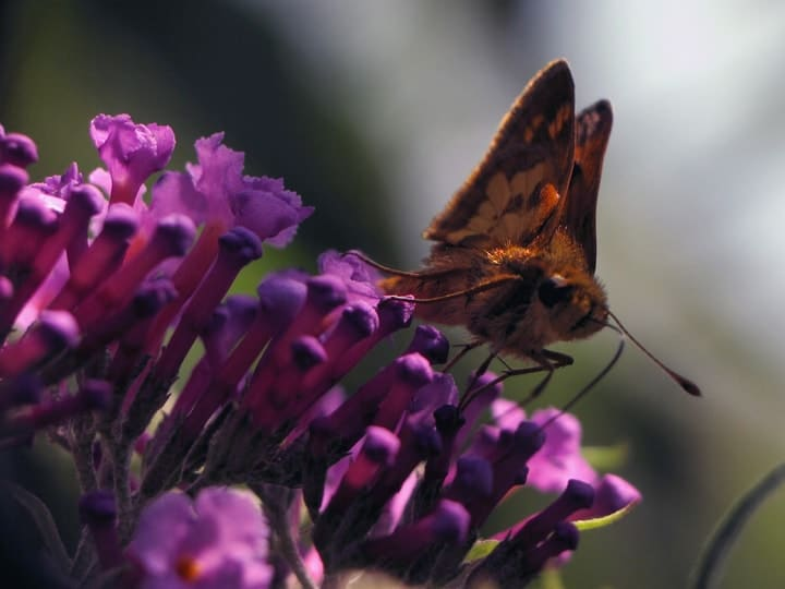 skipper butterfly on butterfly bush