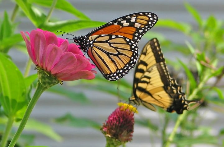 tiger and monarch butterflies on zinnias