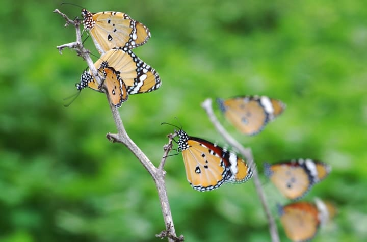 tiger butterflies resting on twigs