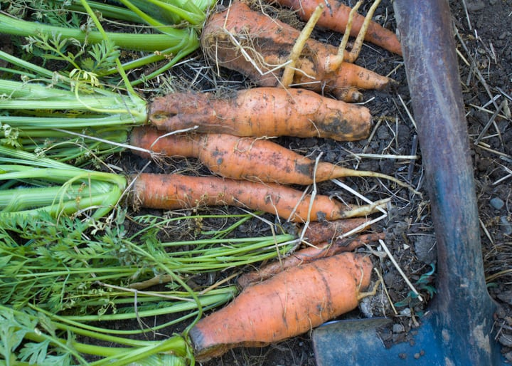 uprooted carrots before frost