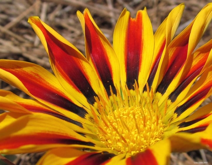 vibrant gazania flower