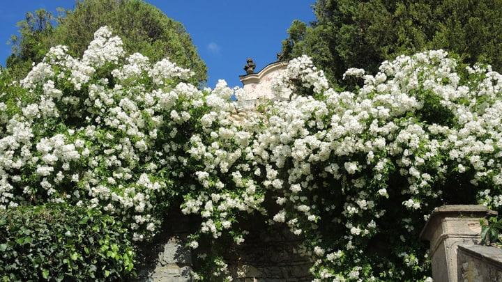 white rose garden wall