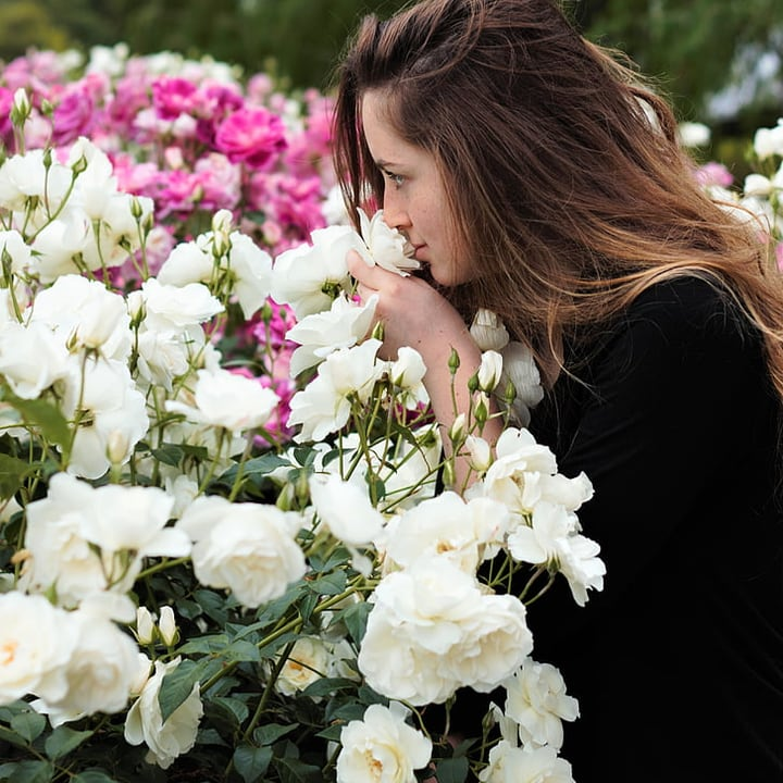 woman sniffing english rose flowers in the garden