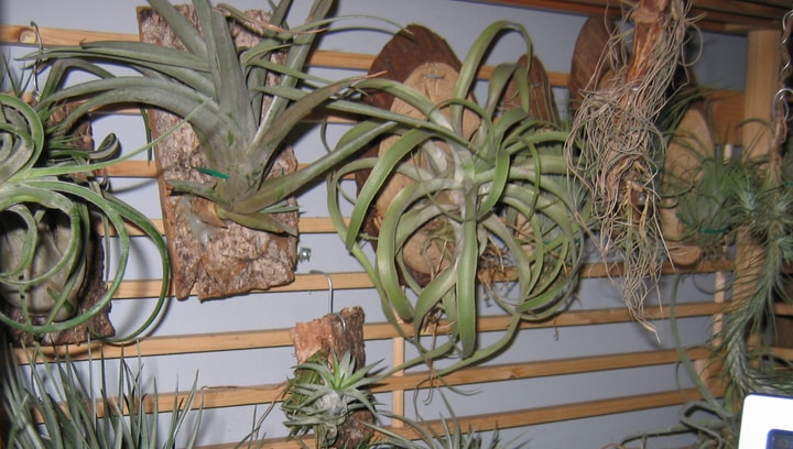 airplant wall garden