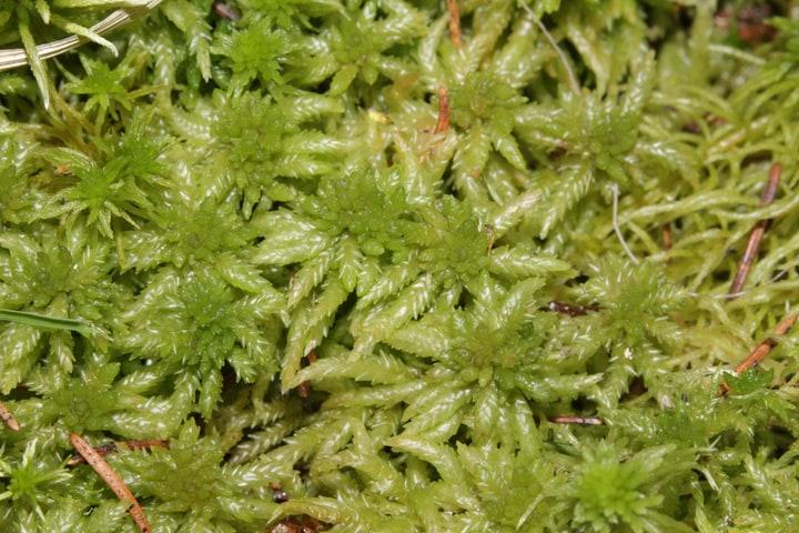 common peat moss sphagnum centrale