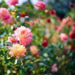 dreamy rose garden
