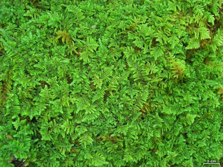 feather moss hypnum imponens