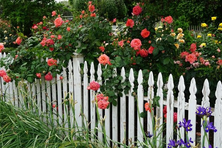 fenced rose garden