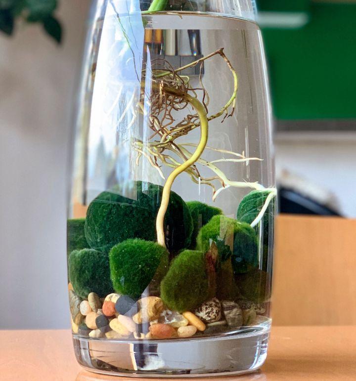 grow moss balls