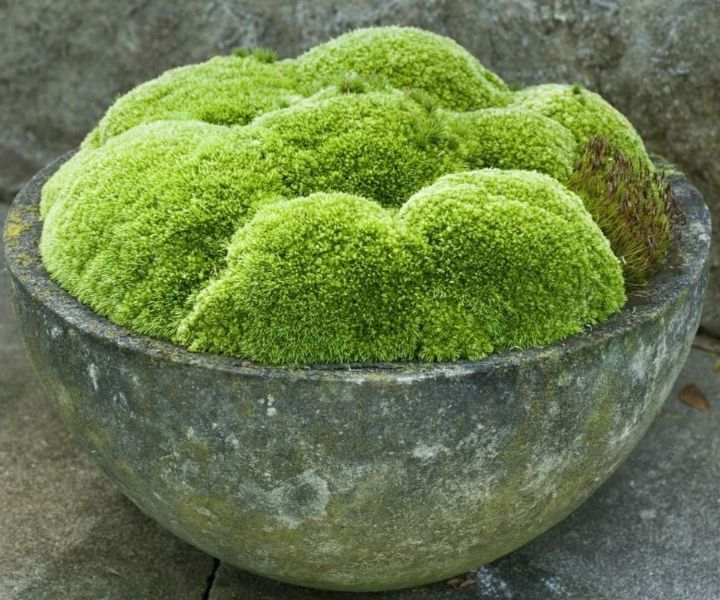 grow moss buttermilk