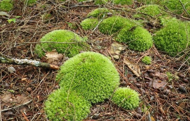 growing moss in the garden