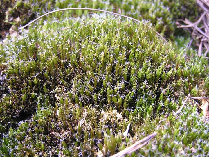 heath star moss campylopus introflexus