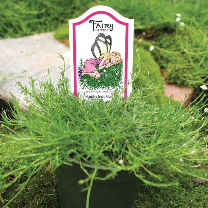 irish moss gardening