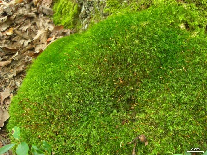 mood moss dicranum scoparium