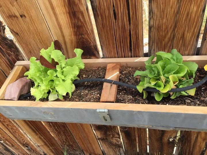 outdoor lettuce wall garden