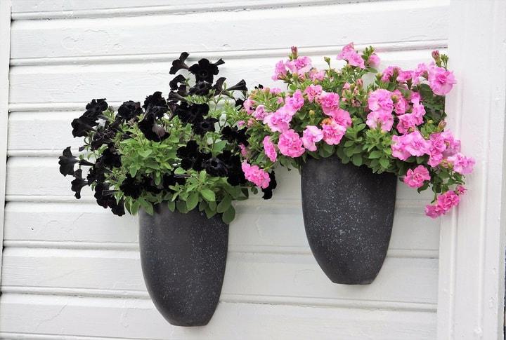 petunia wall garden