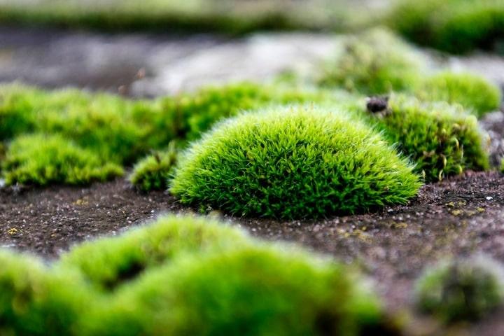 pincushion moss luecobryum glaucum