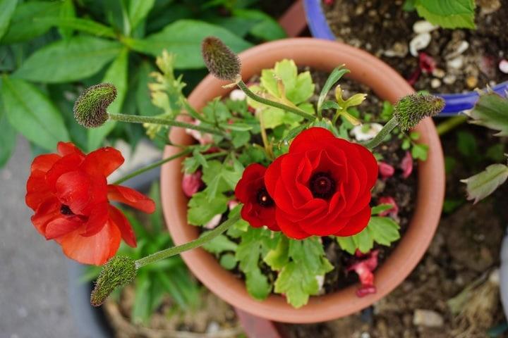 potted indoor rose garden