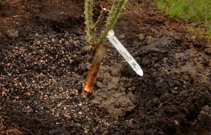 preparing the soil for planting roses
