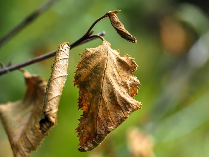 removing dried leaves from rose plants