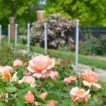 rose garden in a sunny spot