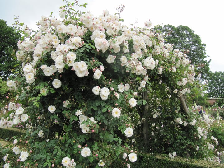 white roses over arches