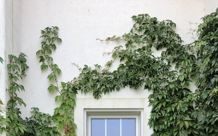 white wall vine garden