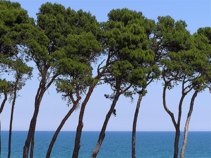 aleppo pine pinus halepensis