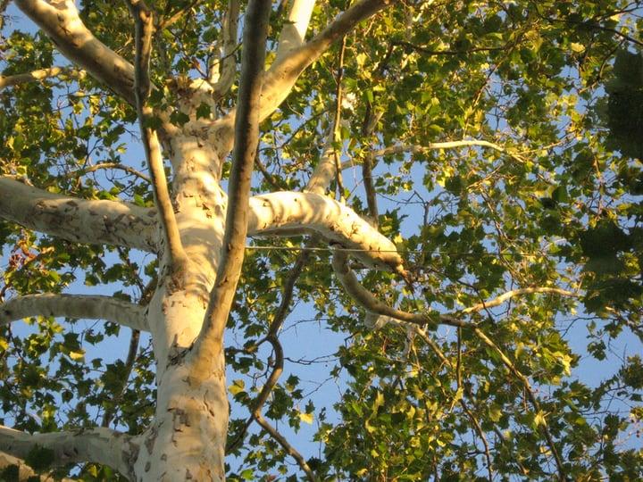 american sycamore platanus occidentalis