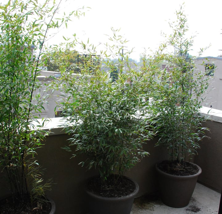 bamboo growing in pots