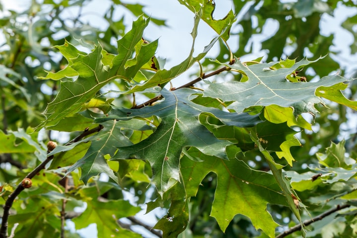 black oak quercus velutina