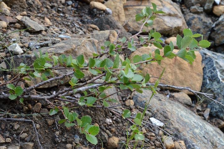bog birch betula pumila