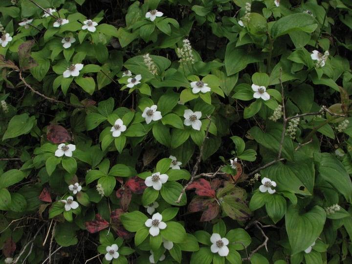 canadian bunchberry cornus canadensis