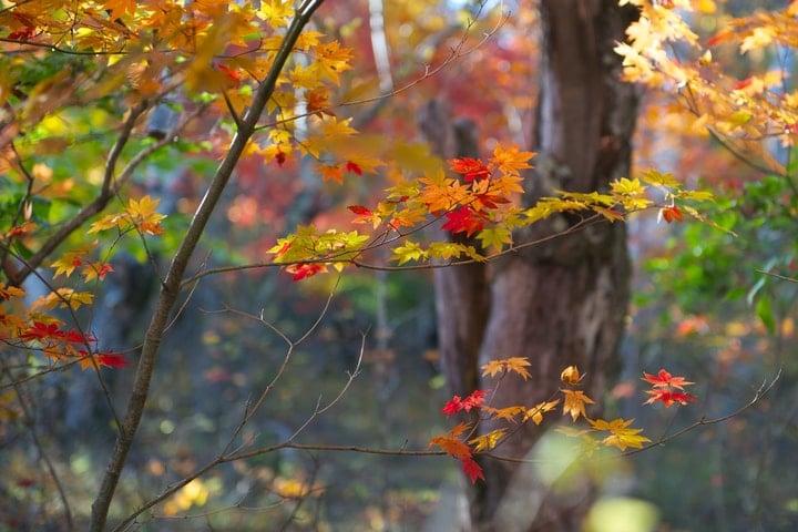 catberry ilex mucronata