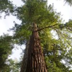 coast redwood sequoia sempervirens tallest type of tree