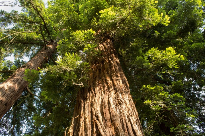 coast redwoods sequoia sempervirens
