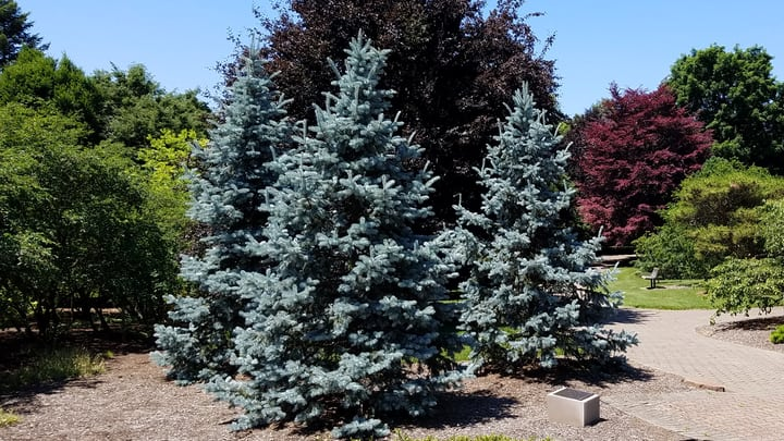 colorado blue spruce picea pungens