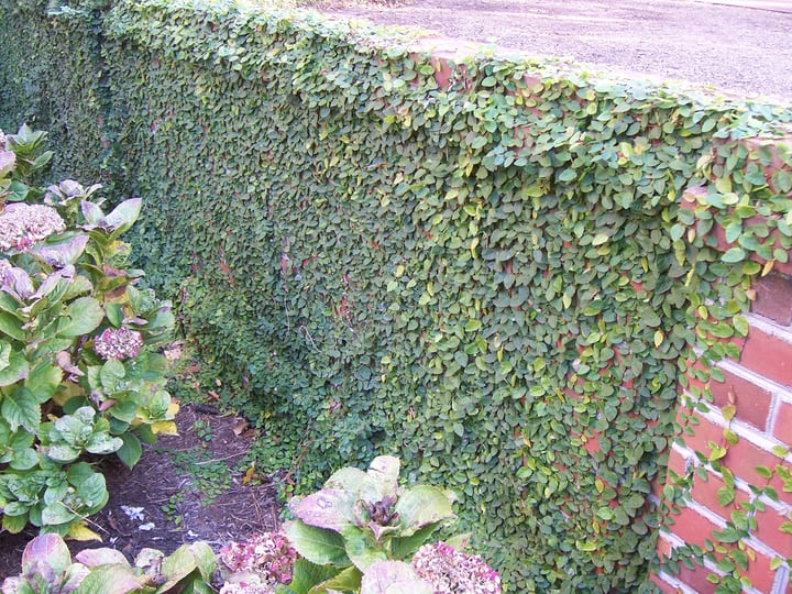 creeping fig ficus pumila
