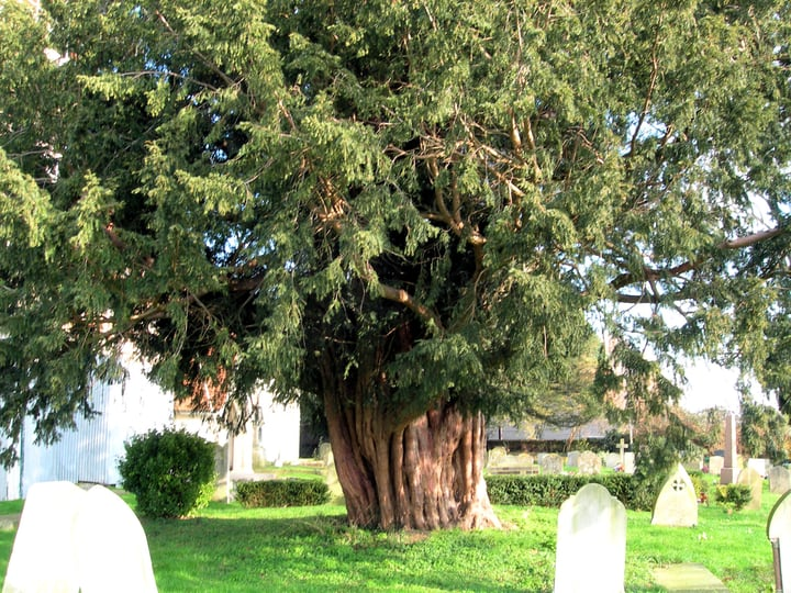 english yew taxus baccata