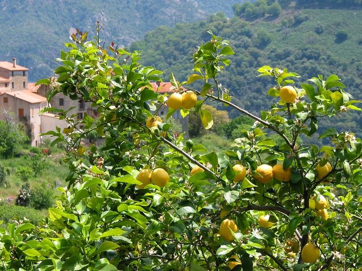 eureka lemon citrus x limon