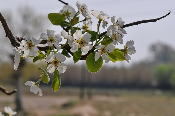 european pear pyrus communis